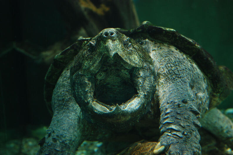 alligator snapping turtle christopher evans flickr commons cc by fpwc scr